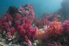 Colourful soft corals (Dendronephthya sp.) Stock Images