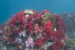 Colourful soft corals (Dendronephthya sp.) Royalty Free Stock Photography
