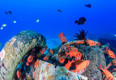 Colourful soldierfish around underwater wreckage Stock Photos
