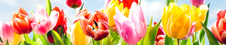 Colourful spring banner of fresh tulips. Colourful panoramic spring banner of fresh tulips in vibrant yellow, pink and red growing in a field under a sunny blue Royalty Free Stock Photography