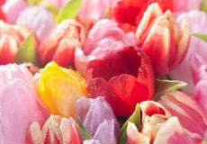 Colourful spring tulips royalty free stock photos