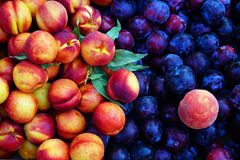 Colourful Stone Fruit. Colorful fresh stone fruit; nectarines, plums and a peach. For sale at a weekly Greek farmers market, or laiki, Greece royalty free stock images
