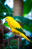Colourful sun conure parrot bird Royalty Free Stock Images