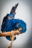 Colourful sun parrot birds & x28;Hyacinth macaw& x29;. Colourful sun conure parrot birds on a stick with blurred background Royalty Free Stock Photography