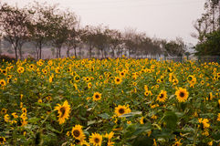 Colourful Sunflower fields Royalty Free Stock Photos