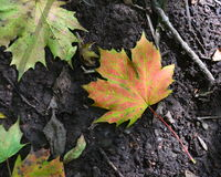 Colourful sycamore leaf lying on the ground Stock Image