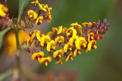 Colourful Tasmanian wild flower Royalty Free Stock Photo