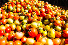 Colourful of tomatoes in mountain at maehongson Royalty Free Stock Images