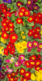 A Colourful Tray of Primula Flowers Stock Photo