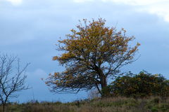 Colourful tree in contrast. To November dark blue sky Stock Photos