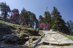 Colourful Tree enroute to Tungnath Shiva Temple, Chopta, Garhwal, Uttarakhand, India stock photos
