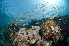 Colourful tropical coral reef scene. Royalty Free Stock Images