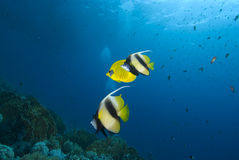 Colourful tropical fish Royalty Free Stock Photography