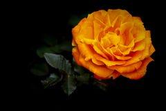 Beautiful orange rose in a spring garden. Colourful tropical orange rose in garden during spring royalty free stock images