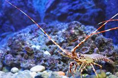Colourful tropical rock lobster. Under water, aquarium (Dubrovnik, Croatia Stock Photo