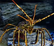 Colourful Tropical Rock lobster close up with blur under water on background of beautiful underwater stones. Colourful Tropical Rock lobster under water on Royalty Free Stock Photos