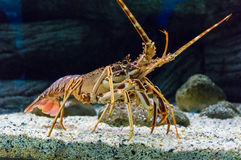 Colourful Tropical Rock lobster under water.  Royalty Free Stock Photos