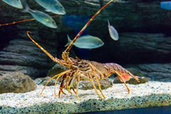 Colourful Tropical Rock lobster under water.  Stock Photo