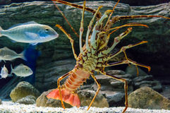 Colourful Tropical Rock lobster under water Stock Image