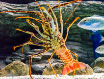 Colourful Tropical Rock lobster under water.  Stock Images