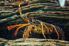 Colourful Tropical Rock lobster under water on background of beautiful underwater stones. Colourful Tropical Rock lobster under water on the background of Stock Image