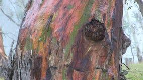 Colourful trunk of a Rainbow Eucalyptus tree stock video footage