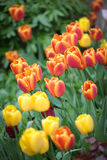 Colourful tulip Stock Photo