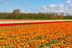 A colourful tulip field near Lisse in Holland. A colourful tulip field with red/yellow and white tulips near Lisse in Holland stock image