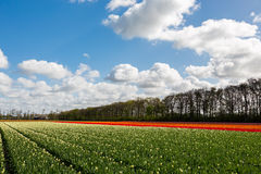 Colourful tulip field in the Netherlands. A colourful tulip field in a blue and cloudy sky near the village Lisse in the Netherlands stock photo