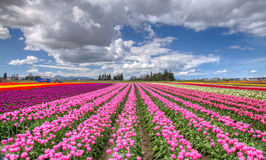 Colourful tulip field Royalty Free Stock Photos