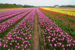 Colourful tulip fields Royalty Free Stock Image