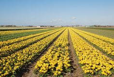 Colourful tulip fields Holland Royalty Free Stock Images