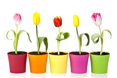 Colourful tulip flowers Stock Photos