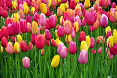 Colourful tulip flowers background. Background of colourful tulip flowers Royalty Free Stock Photography