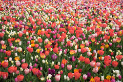 Colourful tulip flowers with beautiful background on a bright su royalty free stock image