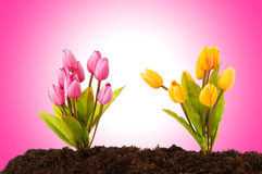 Colourful tulip flowers growing Royalty Free Stock Photography