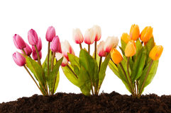 Colourful tulip flowers  in the soil Royalty Free Stock Photo