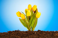 Colourful tulip flowers  in the soil Stock Photo