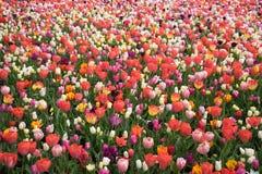 Colourful tulipan kwitnie z pięknym tłem na jaskrawym su Obraz Royalty Free