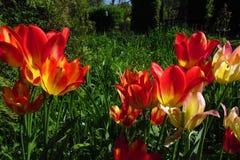 Colourful tulipany w wiosny słońcu z zielonej trawy tłem zdjęcie stock