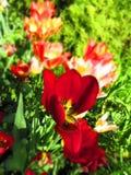 Colourful tulipany w wiosny słońcu z zielonej trawy tłem fotografia royalty free