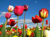 Colourful Tulips. On a field in spring Stock Photography