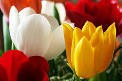 Colourful Tulips. Some colorful tulips. Focus is on the white tulip stock photo