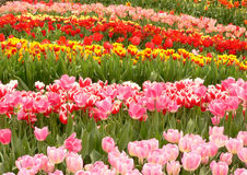Colourful tulips. Field of tulips Royalty Free Stock Photos