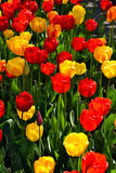 Colourful tulips. Bright tulips colours growing in a group Royalty Free Stock Photo