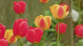 Colourful tulips close-up. Coulourful tulips. Soft focus close-up shot stock video footage