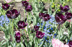Colourful tulips Close-up shot. Royalty Free Stock Photo