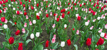 Colourful tulips flowers season garden Stock Photography