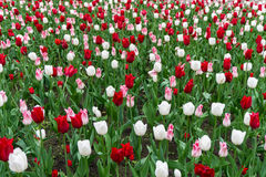 Colourful tulips flowers season garden flower beauty Royalty Free Stock Image