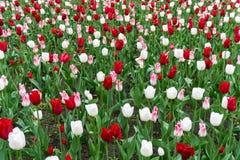 Colourful tulips flowers season garden flower beauty Stock Photos